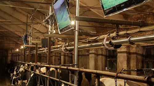 500x_cows1.jpg
